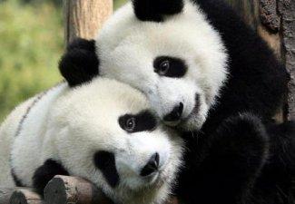 Image of two pandas